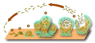 stages of biofilm lyme borrelia